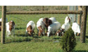 "WH4X4 - 4""x4"" Woven Wire, Sheep & Goat Fence"
